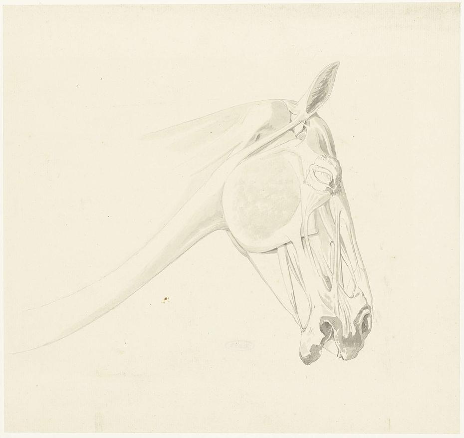 Anatomische studie van de spieren van een paardenhoofd