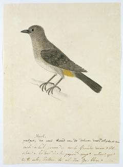 Kaapse buulbuul (Pycnonotus capensis)
