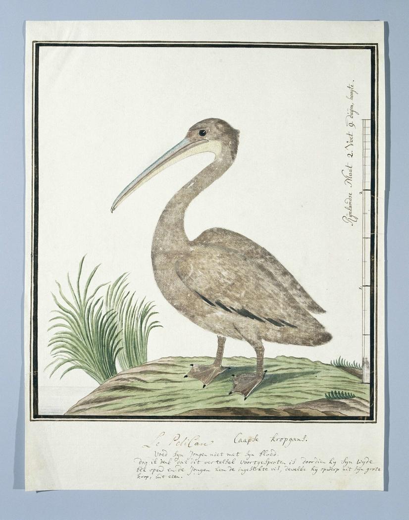 Kleine pelikaan (Pelecanus rufescens)