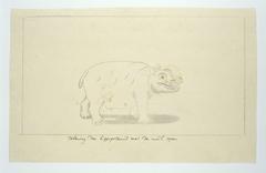 Nijlpaard met open muil (Hippopotamus amphibius)