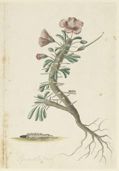 Geranium Spinosum, met wortels, een torretje en een detailstudie van de onderzijde van deze tor