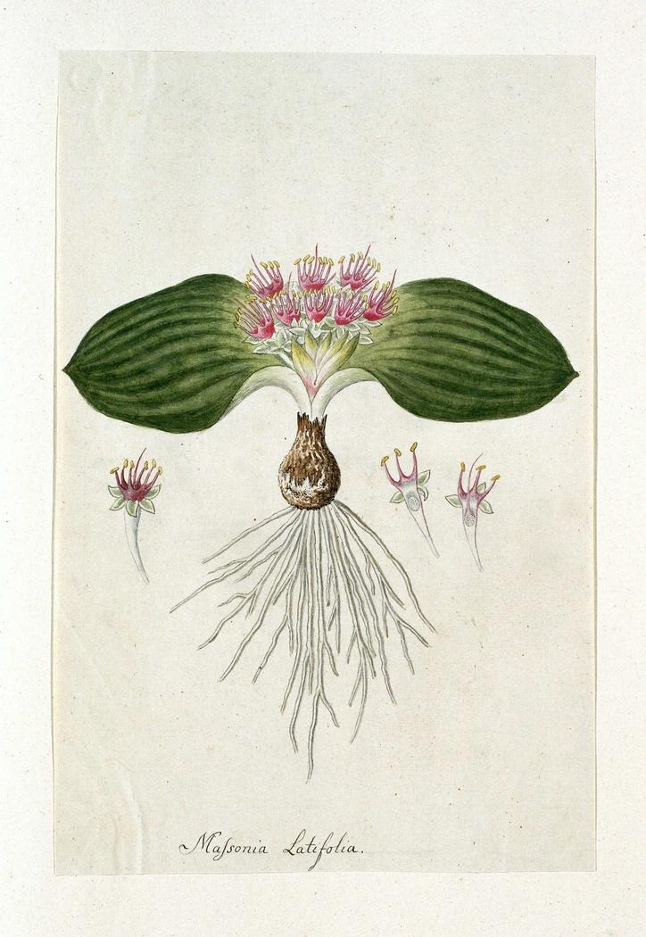 Massonia depressa; met detailstudies van de bloemetjes