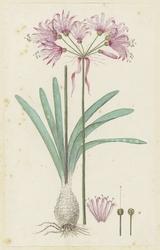 Nerine, met detailstudies van de bloeiwijze