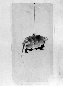 Tortoise Suspended By String