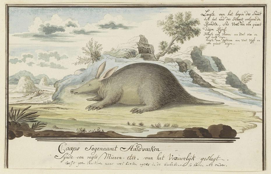 Kaaps aardvarken (Orycteropus afer)