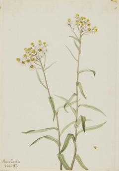 Pearl Everlasting (Anaphalis margaritacea)