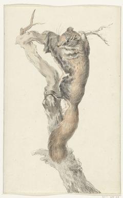 Vliegende eekhoorn, op een tak