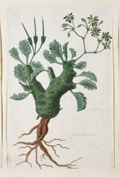 Geranium (Pelargonium klinghardtense Knuth)