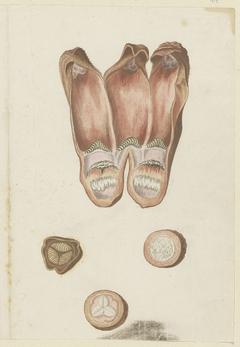 Hydnora africana: detailstudies van bladdoorsnee en vrucht