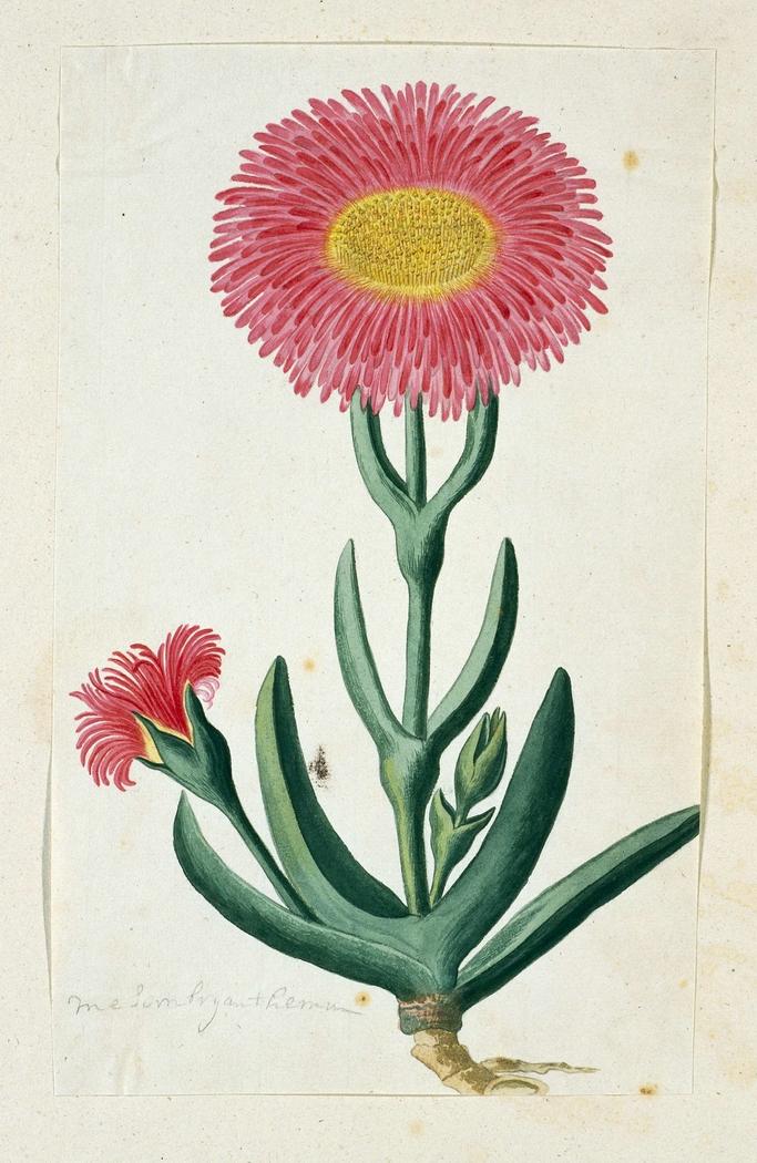 Mesembryanthemum, met twee bloemen
