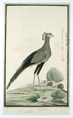 Secretarisvogel (Sagittarius serpentarius)