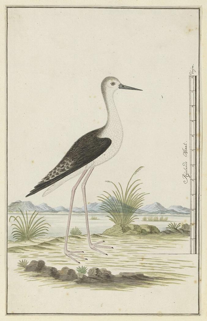 Steltkluut (Himantopus himantopus)