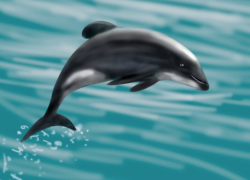 the Maui Dolphin - Critically Endangered