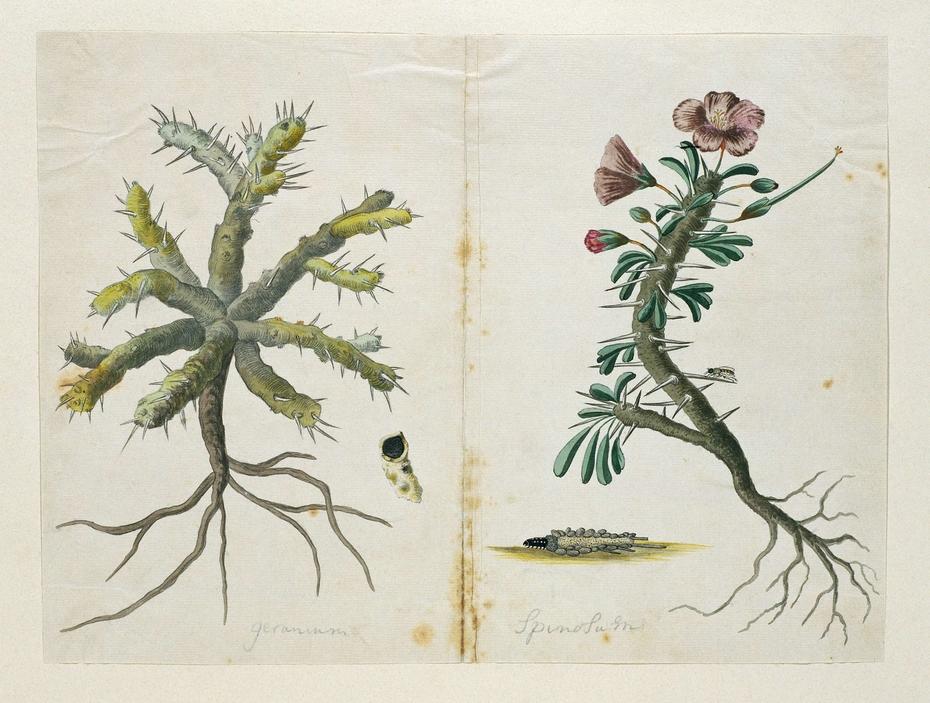 Geranium (Monsonia sp) met wortels en een detail van een doorsnede