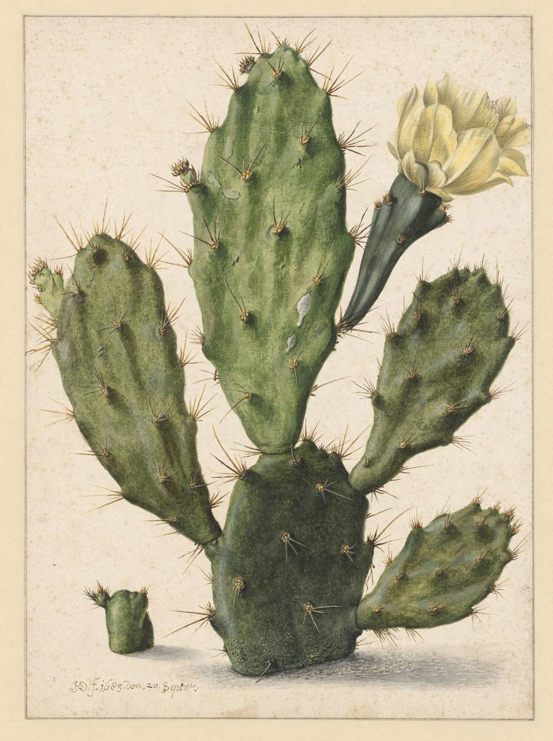 Pear Cactus in Bloom
