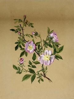 Rose Mallow (Hibiscus moscheutos)