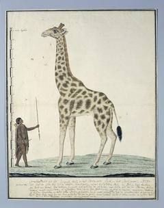 Giraf (Giraffa camelopardalis), met links een Khoi