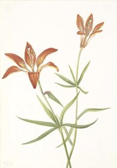 Lily (Lilium montanum)