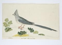 Witkruismuisvogel (Colius colius); het mannetje