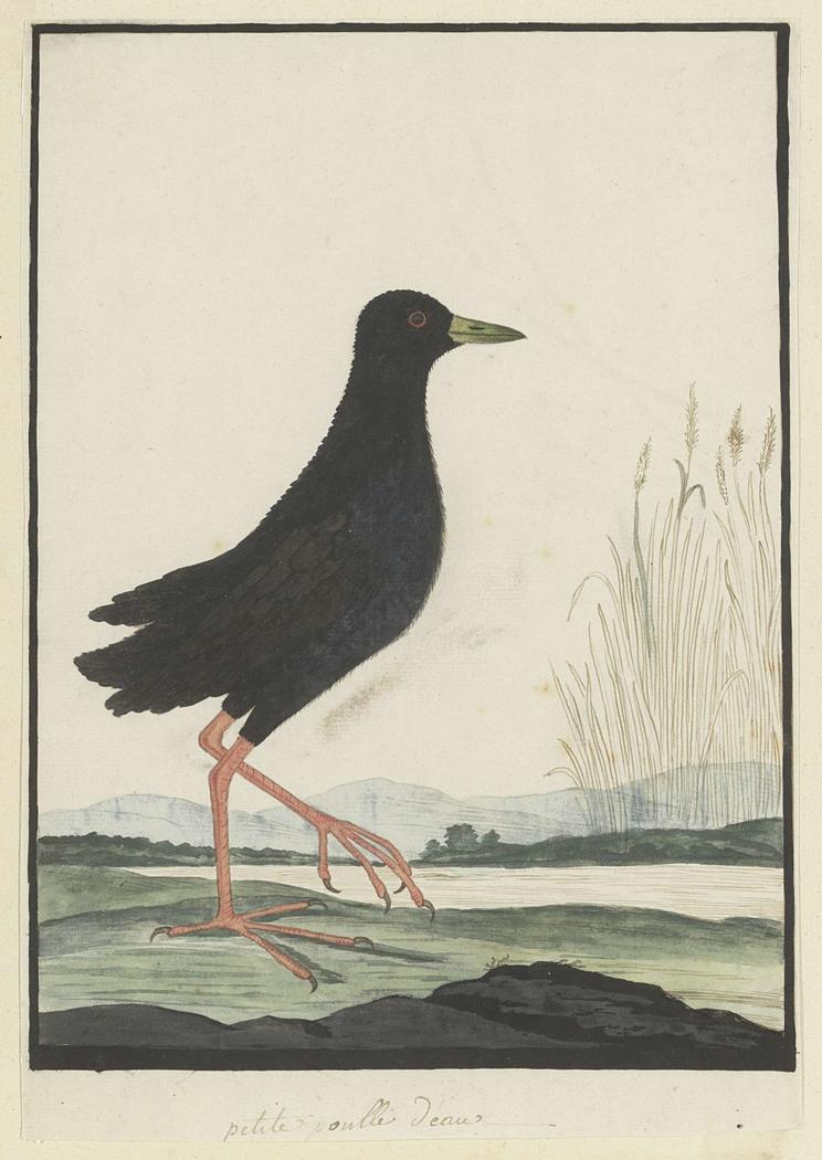 Zwarte riethaan (Amaurornis flavirostris)