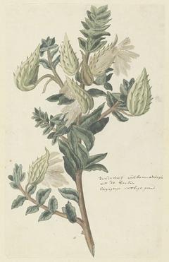 Asclepias cancellata (Gomphocarpus cancellatus (Burm.f.) Bruyns)