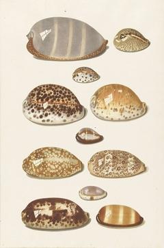 Elf grote en kleine tropische kaurie schelpen