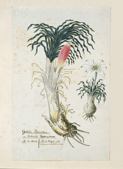 Gethyllis ciliaris met vrucht en een detailstudie van de bloem
