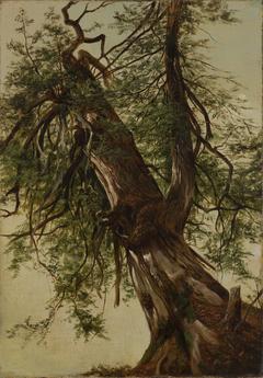 Study of a Cedar