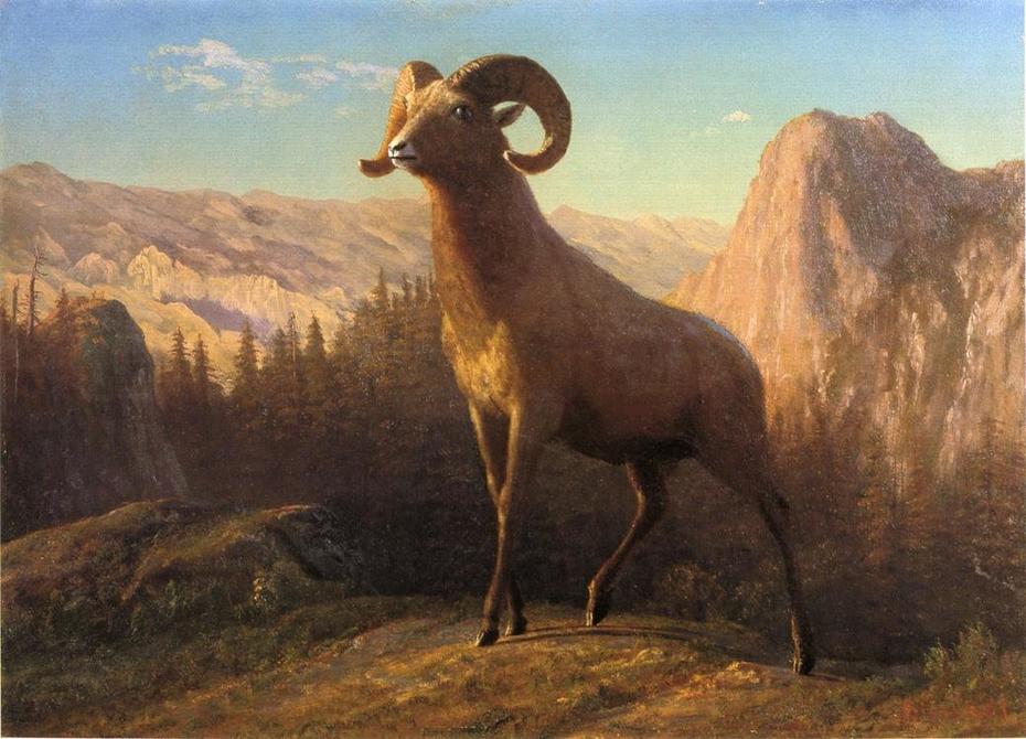 A Rocky Mountain Sheep, Ovis, Montana