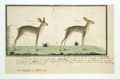 Kaapse steenbok (Raphicerus campestris): ram en ooi