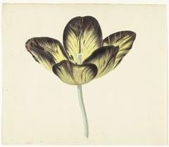 Tulp genaamd Bizard Egiptienne